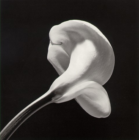 mapplethorpe_calla84